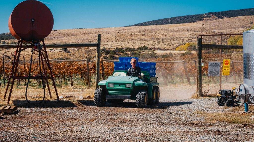 Keelan driving the Gator, bringing in another 25 blue picking bins, filled with just-picked Riesling grapes.