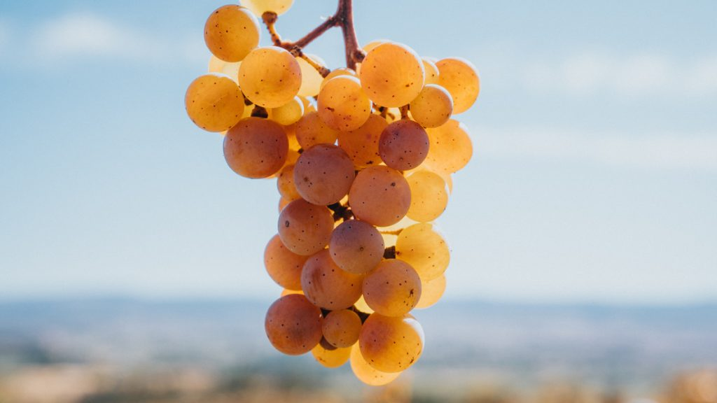 Golden Riesling grape cluster at The Storm Cellar winery and vineyard.