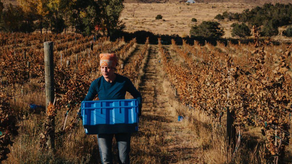 Jayme carrying blue picking bins down rows of Riesling grapes.