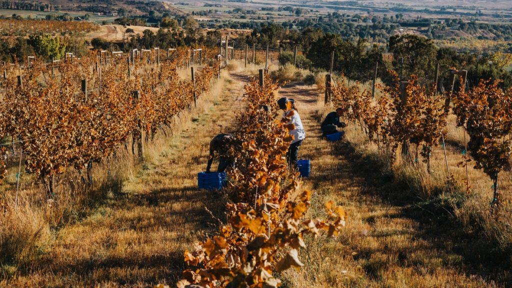 People picking Riesling on the very last possible day, just after the frost event for the 2019 vintage at The Storm Cellar in October.